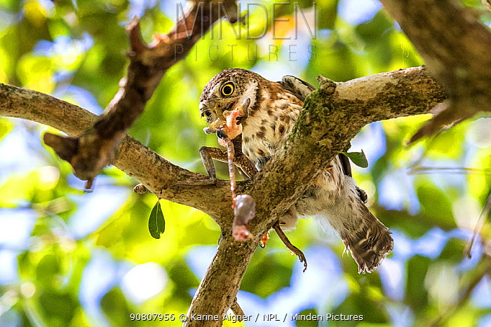 Cuban pygmy owl (Glaucidium siju) in a tree feeding on Cuban Tree frog (Osteopilus septentrionalis). Bermejas, Cuba.