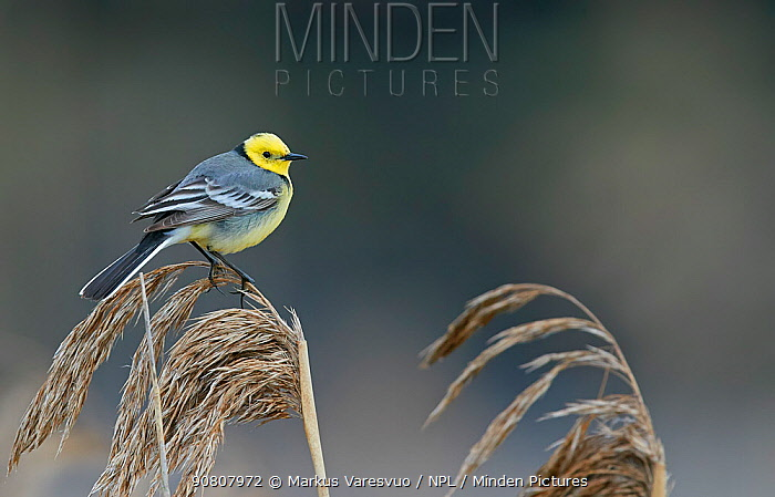 Citrine wagtail (Motacilla citreola) male perched on Reed. Latvia. April.