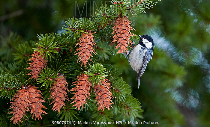Coal tit (Periparus ater) feeding amongst Douglas fir (Pseudotsuga sp) cones. Helsinki, Finland. December.