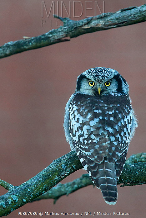 Hawk owl (Surnia ulula), looking at camera with head turned 180 degrees, perched on branch. Helsinki, Finland. November.