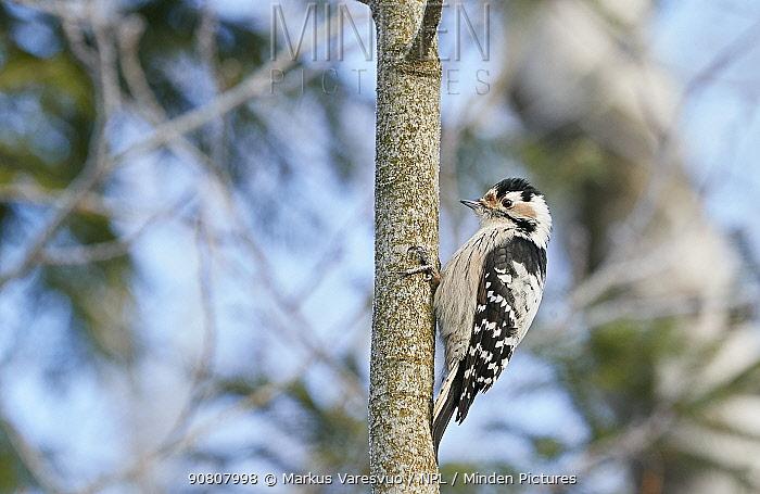 Lesser spotted woodpecker (Dendrocopos minor) female on tree trunk. Helsinki, Finland. February.