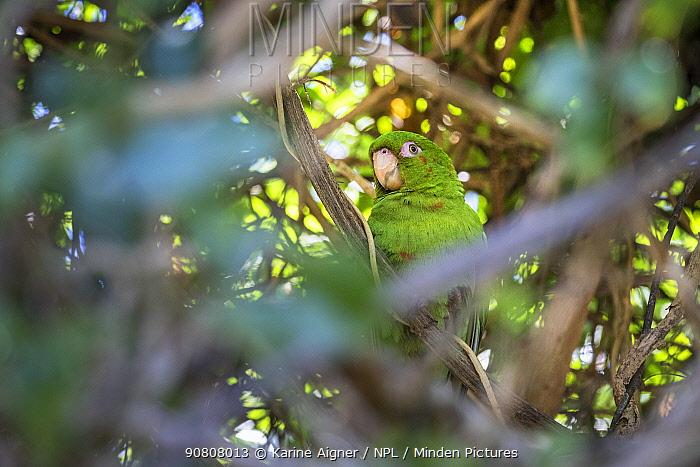 Cuban parakeet (Psittacara euops) Bermejas, Cuba. Endemic.