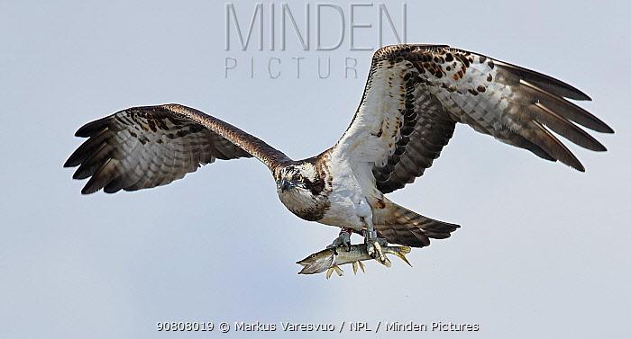 Osprey (Pandion haliaetus) in flight carrying fish in talons. Latvia. April.