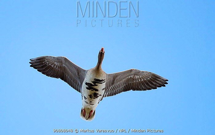 White-fronted goose (Anser albifrons) in flight, viewed from below. Latvia. April.