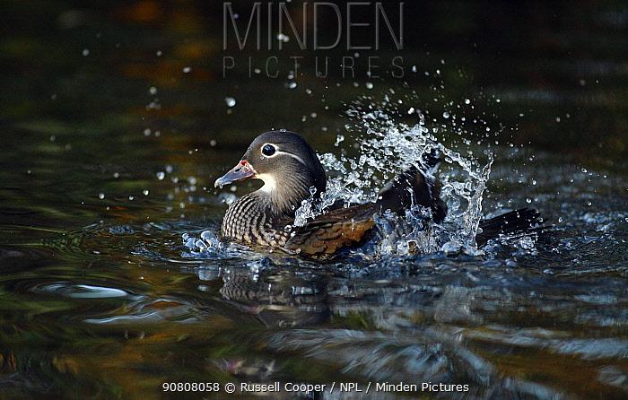 Mandarin duck (Aix galericulata) female bathing taking a bath, Southwest London, UK, November.