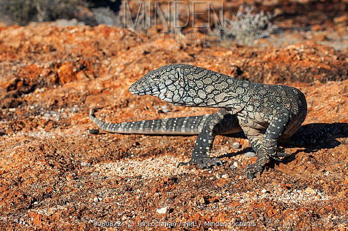 Perentie monitor lizard (Varanus giganteus) Cape Range NP, Western Australia.