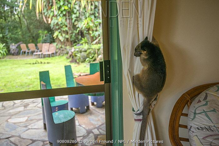 Lumholtz kangaroos (Dendrolagus lumholtzi) juvenile in house of Margit Cianelli, wildlife carer. Lumholtz Lodge, Atherton Tablelands, Queensland, Australia Model released.