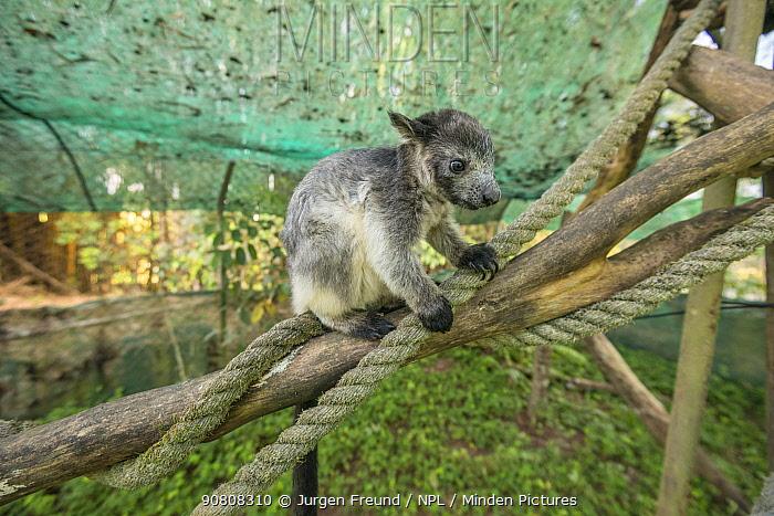 Lumholtz's tree-kangaroo (Dendrolagus lumholtzi) juvenile in secure outside exercise area. Lumholtz Lodge, Atherton Tablelands, Queensland, Australia.