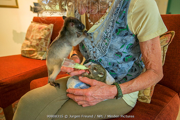 Margit Cianelli bottle feeding a baby Green ringtail possum (Pseudochirops archeri) Atherton Tablelands, Queensland, Australia. Model released.