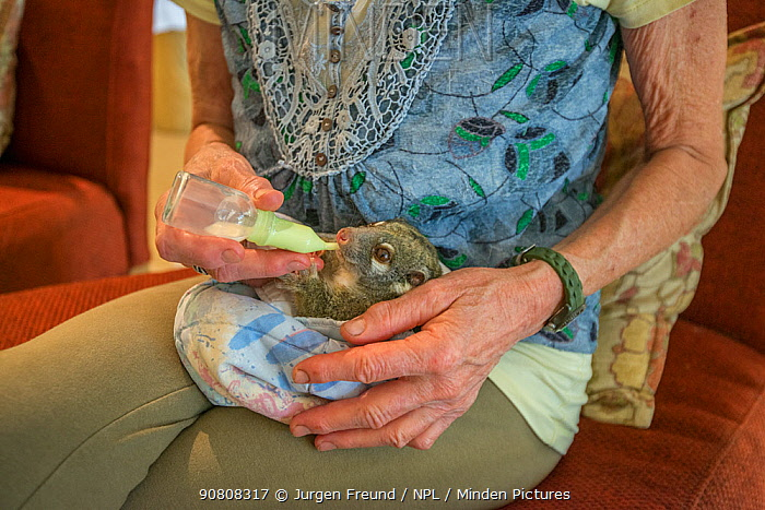 Margit Cianelli bottle feeding a baby Green ringtail possum (Pseudochirops archeri) Atherton Tablelands, Queensland, Australia. Model released.