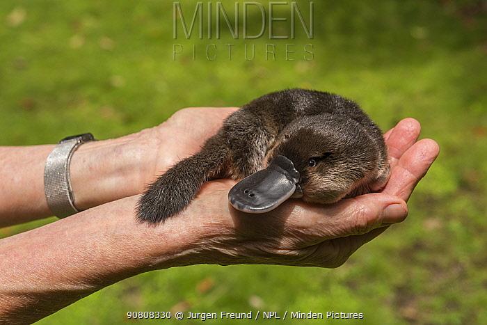 Margit Cianelli, wildlife carer holding Platypus (Ornithorhynchus anatinus) orphan, Atherton Tablelands, Queensland, Australia. Model released.