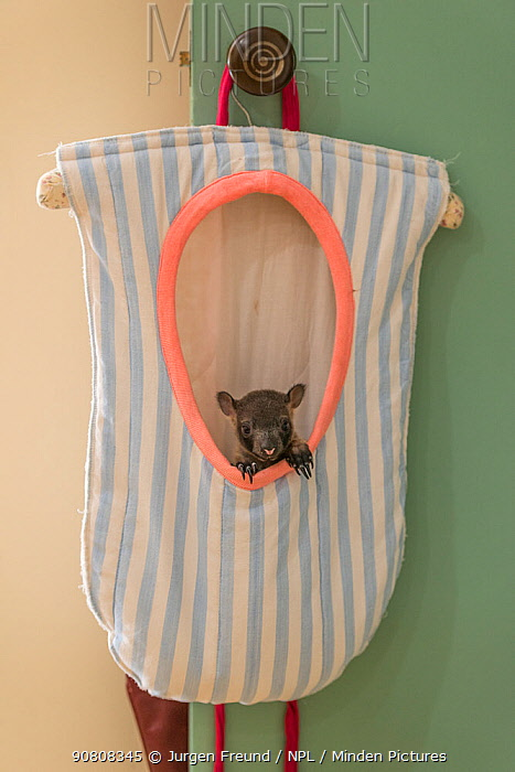 Lumholtz tree kangaroo (Dendrolagus lumholtzi) joey 'Dobby' resting in cloth pouch, in house of wildlife carer Margrit Cianelli, Lumholtz Lodge, Atherton Tablelands, Queensland, Australia.