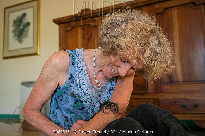 Northern quoll (Dasyurus hallucatus), baby on arm of wildlife carer Margrit Cianelli, Atherton Tablelands, Queensland, Australia.