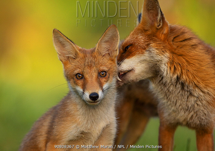 Red Fox (Vulpes Vulpes) female and cub, North London, England UK, June.