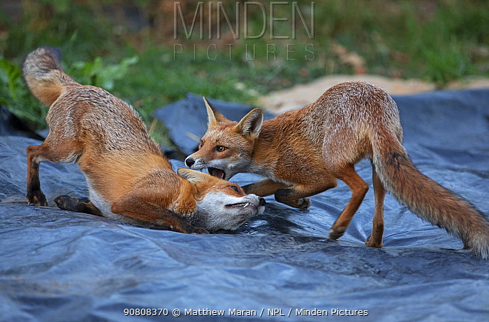 Red Fox (Vulpes Vulpes) vixen (left) playing her cub (right). North London, England, UK.