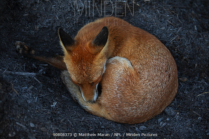 Red Fox (Vulpes Vulpes) a vixen which has dug into a compost pile to reach the warm centre before curling up and sleeping. North London, England, UK, August.
