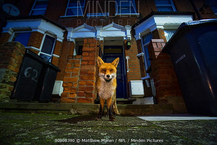Red Fox (Vulpes Vulpes) outside houses, North London, England UK