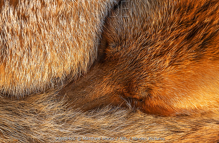Red fox (Vulpes Vulpes) sleeping curled up, close up, North London, England UK