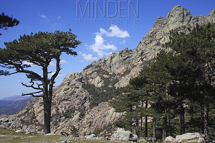 Ancient Corsican pine trees (Pinus nigra laricio), with the Col de Bavella in the background, Parc Naturel Regional de Corse, Corsica, France, April 2010.