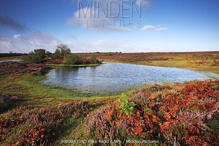 Heathland pond on Bratley Plain near Slufters Inclosure, New Forest National Park, Hampshire England, UK, August 2012