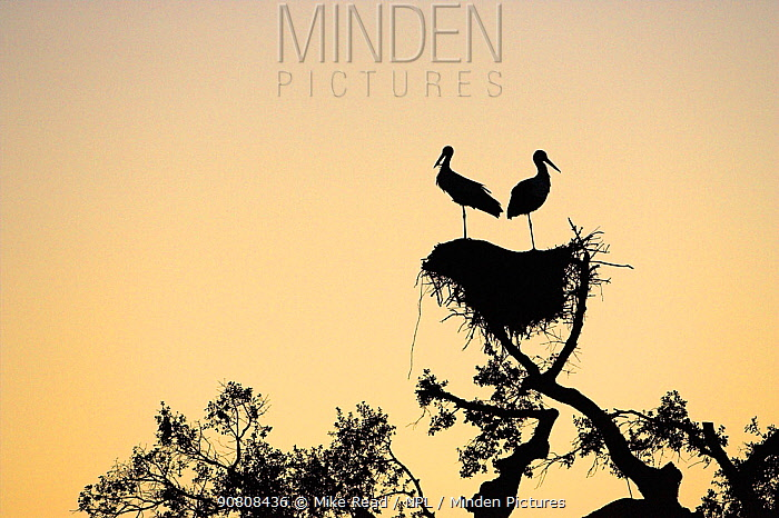 White stork (Ciconia ciconia) pair silhouetted on nest at sunset near Castro Verde, Alentejo, Portugal, February.