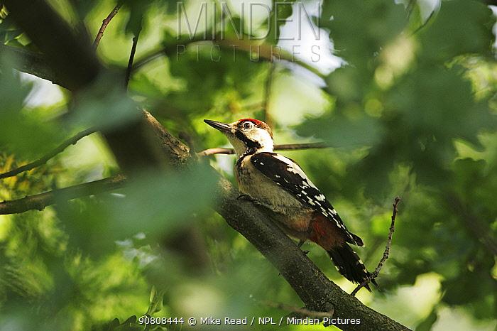 Syrian woodpecker (Dendrocopos syriacus) juvenile perched in oak tree near Tiszaalpar, Hungary, June.