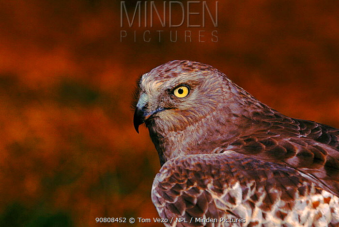Hen harrier (Circus cyaneus) portrait. Texas, USA