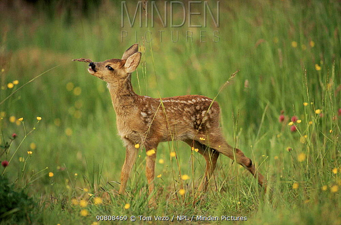 Whitetail deer fawn (Odocoileus virginianus). Texas, USA