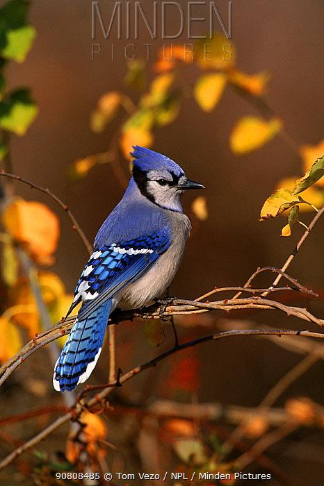 Blue jay perched, Long Island, USA