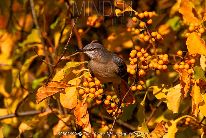 Mockingbird amongst berries, Everglades NP, Florida, USA