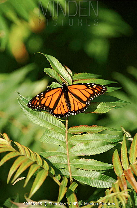 Monarch butterfly.  Point Pelee, Ontario, Canada