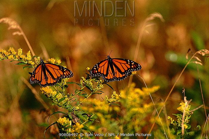 Monarch butterflies (Danaus plexippus) on flowers. Ontario, USA