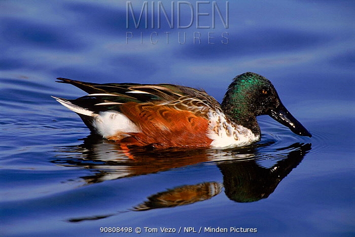 Northern shoveler (Anas clypeata) duck, male Long Is NY USA