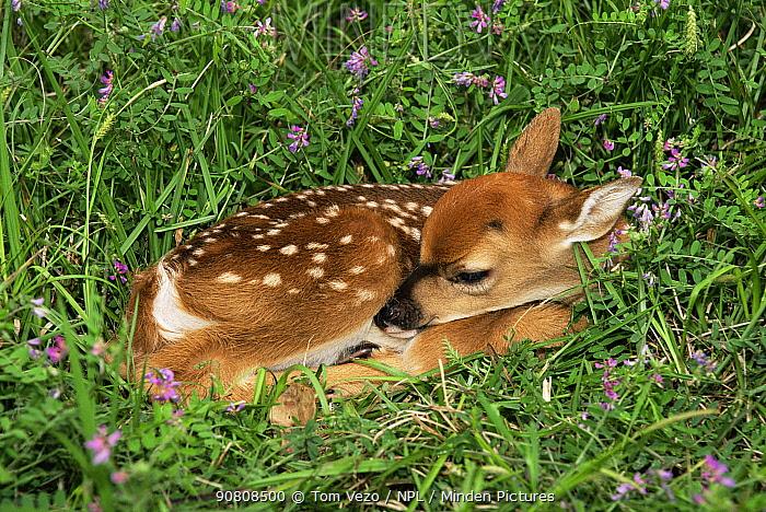 Whitetail deer fawn (Odocoileus virginianus) sleeping in grass, Texas, USA