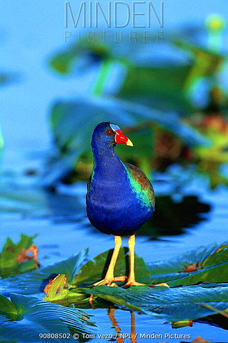American purple gallinule. (Porphyrio martinicus) Florida Everglades, USA.
