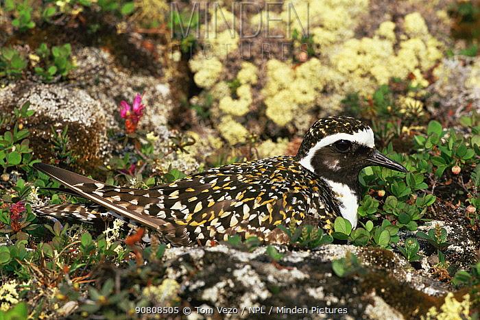 American golden plover (Pluvialis dominica) on nest, Churchill, Manitoba, Canada