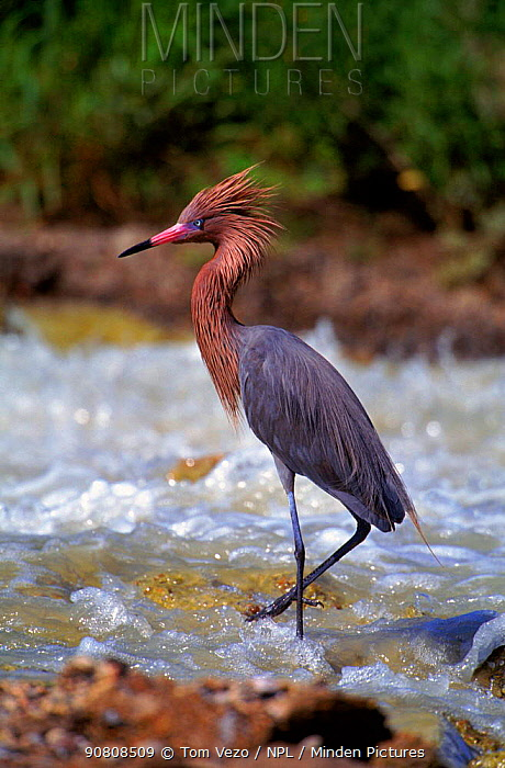 Reddish egret in water, Texas, USA