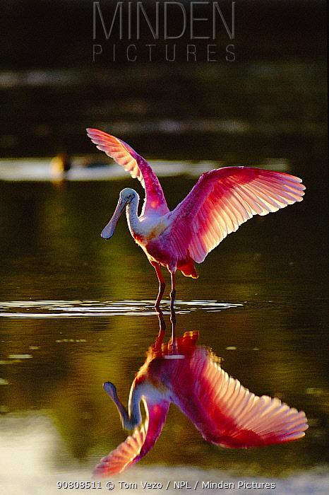Roseate spoonbill, wings open (Platalea ajaja) Florida, USA