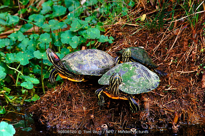 Red eared turtles (Pseudemys scripta elegans)