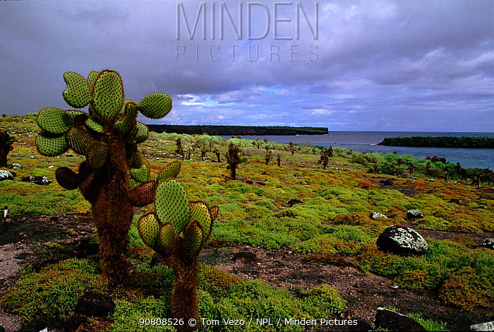 Galapagos landscape with cactus. South Paza Island