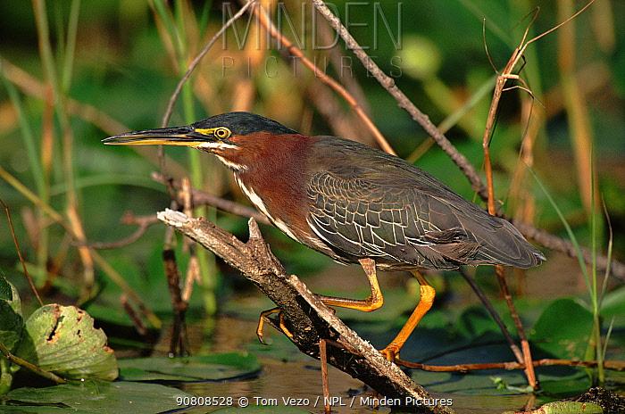 Green heron (Butorides virescens). Everglades NP, Florida, USA
