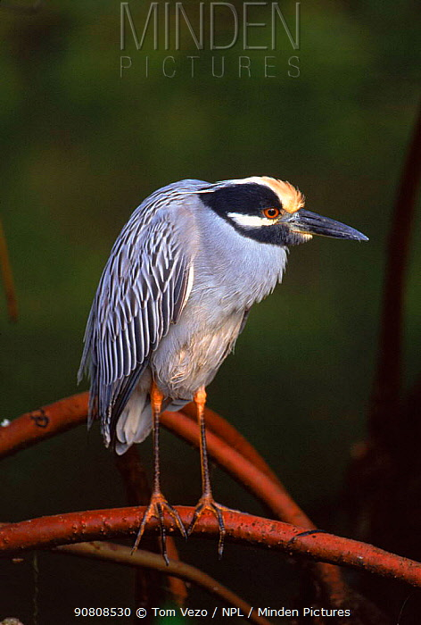 Yellow crowned night heron, Florida, USA