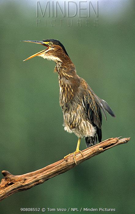 Green heron {Butorides virescens} perched, calling, Long Island, New York, USA.