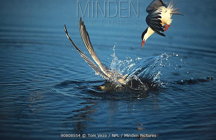 Common tern {Sterna hirundo} diving into water, fishing, following a gull, Long Island, New York, USA.