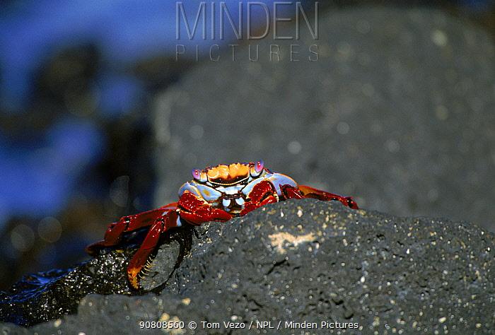 Sally lightfoot crab, Galapagos Islands.