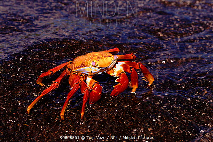 Sally lightfoot crab (Grapsus grapsus). Galapagos Islands