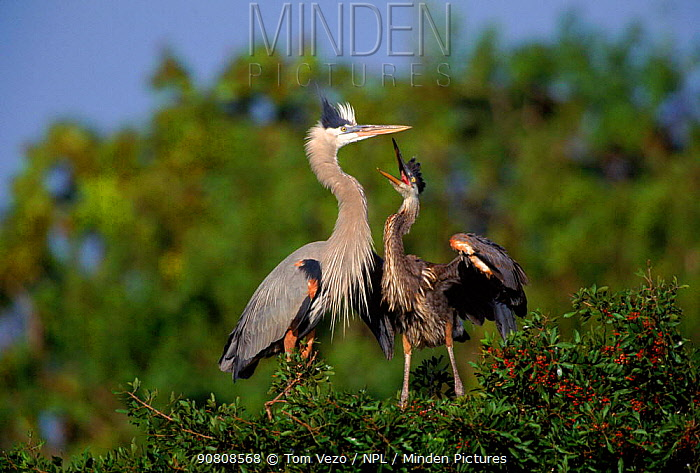 Great blue heron with chick at nest in tree {Ardea cinerea} Florida, USA