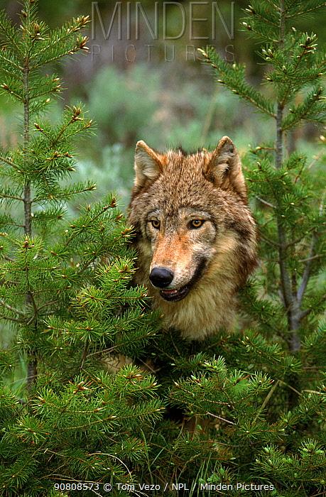 Grey wolf portrait, USA {Canis lupus}