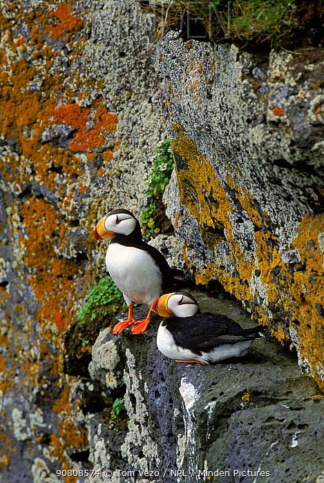 Horned puffin pair, St Paul Island, Alaska, USA