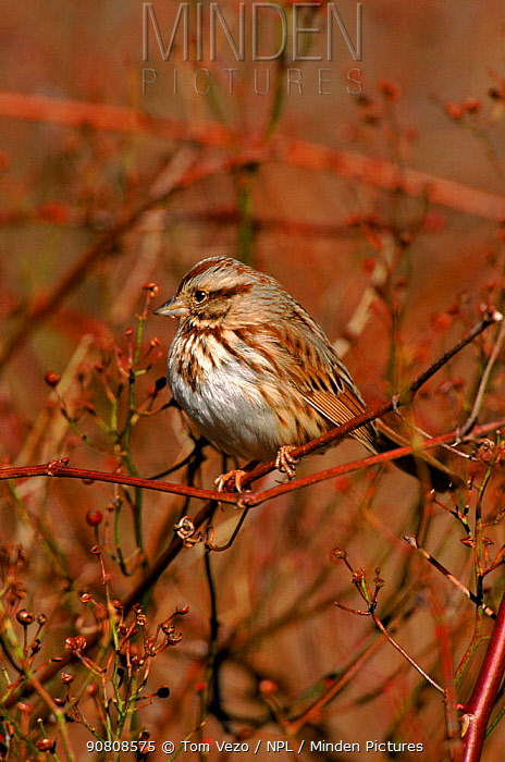 Song sparrow perched. {Zonotrichia melodia} Long Is, New York, USA